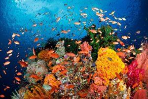 I colori di Raja Ampat, Indonesia, una delle mete subacquee più ricche di suggestioni. Il blu contrasta con le infinite cromie offerte da coralli, alcionarie, madrepore, anemoni e con l'arancione dei banchi di migliaia di Pseudanthias squamipinnis.