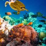 Un angolo di barriera corallina delle Maldive, che  nel '98 subì la distruttiva ondata di calore anomalo del Niño.  Tra gli organismi che l'abitano,  si riconoscono una  tartaruga marina chelonioidea  (Chelonia mydas),  alcuni pesci pagliaccio crociato  (Amphiprion perideraion)  tra i loro anemoni (Heteractis magnifica), pesci chirurgo  e numerose specie di coralli.