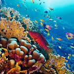 Una cernia maculata (Chephalopholis miniata) caccia lungo la barriera corallina del Mar Rosso egiziano. Diversi pesci di questo bacino stanno colonizzando il Mediterraneo, a causa del riscaldamento delle acque, attraverso il canale di Suez.