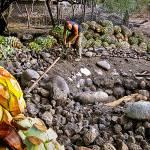 Un forno interrato sovrastato da pietre di fiume, dove le piñas di agave vengono tostate.