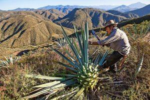 Le fasi di produzione del Mezcal: la raccolta delle agavi.